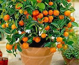 HappyY. Der Bestseller 20 orange seeds dwarf Bonsai Mandarin Orange Seeds Edible Fruit tree for home garden