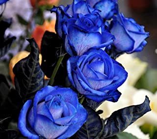 Colorful Rose hep Flower Seeds for Home Balcony Garden Yard Potted Decoration, 50 Seeds (Blue Enchantress)