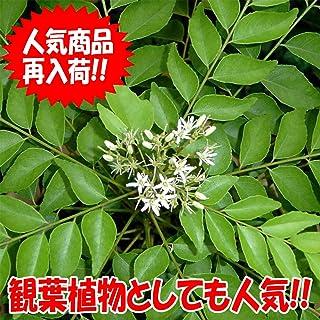 「カレーリーフの苗木 9cmポット苗 1個売り」希少なカレーリーフの苗が入荷しました!葉を乾燥すると香りが飛んでしまいます。風味を楽しむためには、自分で育てて、新鮮な葉をカレーに入れるのが一番!通年植付け可能!ミカン科ゲッキツ属の常緑樹!カレーの風味付けに欠かせないハーブ!是非フリッシュリーフを使って調理してください。自社農場から新鮮出荷!!【ポット苗なのでほぼ年中植付け可能!!即出荷!!プライム送料込み価格!!】