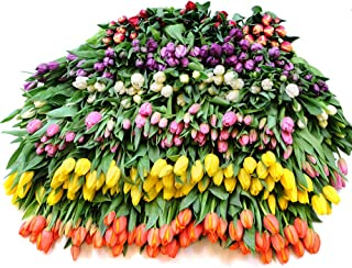 Stargazer Barn 400 Assorted Fresh Tulips - DIY Wholesale Flowers - Farm Direct