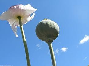 1 oz Tasmanian Poppy Seeds Papaver Somniferum White Flower Afghan Grown Taz Seed