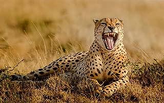 Cheetah Yawn/Animal Poster Print (Size:13x19 inch)