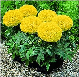 David's Garden Seeds Flower Marigold Giant Yellow SL1884 (Yellow) 50 Non-GMO, Hybrid Seeds