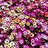 Tappeti Magici Semi Mixed - Mesembryanthemum criniflorum #5
