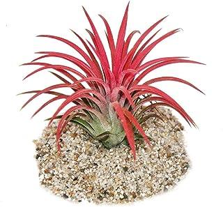 "Tillandsia ionantha""Fire"" - intense red color"