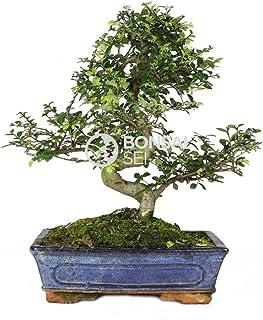 Bonsai - Olmo chino, 10 Años (Bonsai Sei - Zelkova Parvifolia)