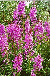 Best rosebay willowherb seeds Reviews