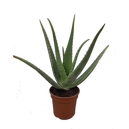 Aloe Vera Ecológico - maceta 15cm. - altura total aprox. 40cm. - planta natural - cultivo ecológico - (envíos sólo a península)