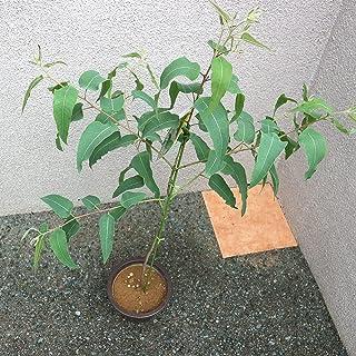 レモンユーカリ【品種で選べる植木苗/6号ポット/1個売り】大きく細長い葉にレモンのような良い香りがする品種。殺菌効果や虫よけ効果が高いとされています。乾燥させてポプリやドライフラワーにしたりします。アロマオイルとしても需要があります。オーストラ...