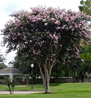 Large BASHAM'S Party Pink Crape Myrtle, 2-4ft Tall When Shipped, Fastest Growing Crape Myrtle, Matures 30ft, 1 Tree, Delicate Light Pink (Shipped Well Rooted in Pots with Soil)