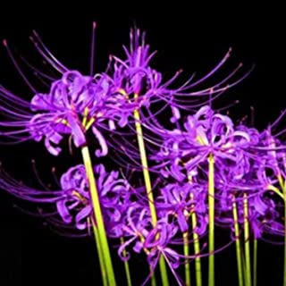 (3) Purple Spider Lily, Lycoris Radiata Bulbs, Fresh Easy to Plant Bulbs