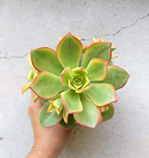 1 Succulent Aeonium Kiwi Succulents Plant Aeonium Haworthii (4