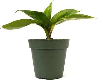 9Greenbox - Dwarf Banana Plant - 4