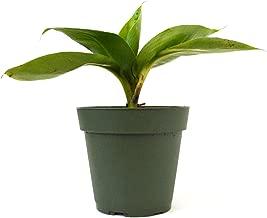 buying banana plants