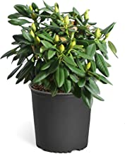 Yellow Rhododendron Shrubs - Huge Yellow Blooms The First Year! - 3 Gallon   Cannot Ship to AZ
