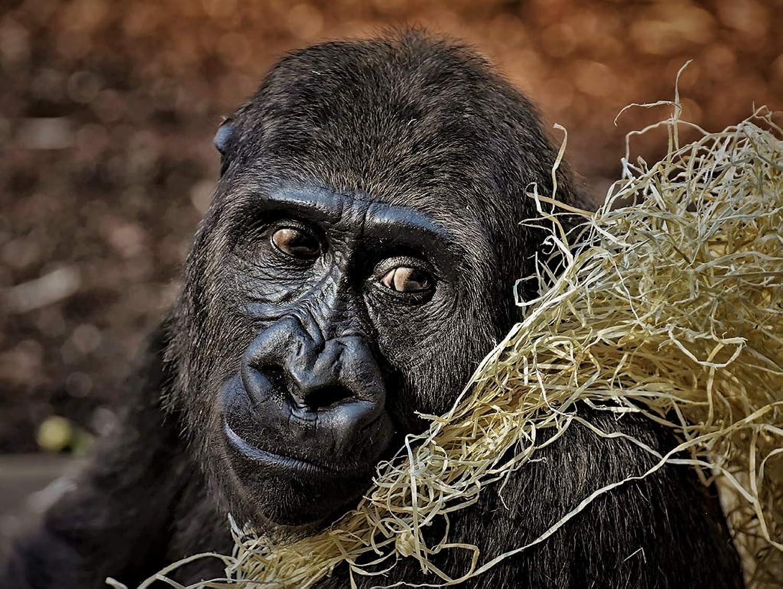 Lais Puzzle Gorilla 1000 Teile B07PBKMQR8 Online-Shop   Gewinnen Sie hoch geschätzt