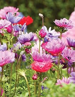 Keland Garten Terrassen und Balkone 50pcs Rarit/äten Lupine Indigolupine Blumensamen Mischung winterhart mehrj/ährig f/ür Garten