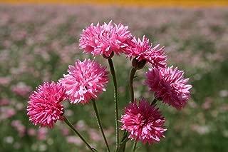 perennial bachelor button plant