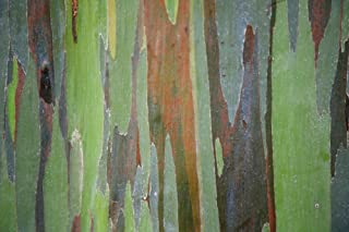 Posterazzi Hawaii Maui Keanae A closeup view of the colorful Painted Eucalyptus tree Poster Print (19 x 12)