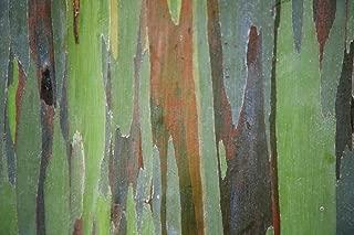 colorful eucalyptus tree maui