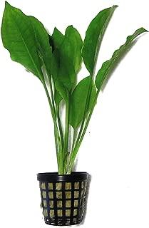 sword plant care