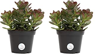 Costa Farms Jade Plant, Crassula ovuta, Live Succulent Plant, Easy to Grow, Ships in 4-Inch Grower Pot, 7-Inches Tall, 2-Pack, Fresh From Our Farm