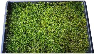 【ハイゴケ 350×450】 栽培箱での蒔き苔栽培の良質なハイゴケです。薄地モノで 苔庭・栽培用にお使い下さい