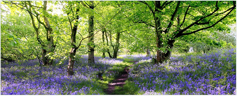 Wallario Glasbild Blaues Hasenglöckchen im im im Wald - 32 x 80 cm in Premium-Qualität  Brillante Farben, freischwebende Optik B011RZVKM8 cbef02
