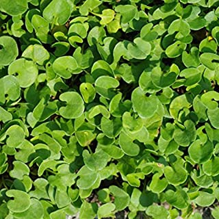 Best soleirolia soleirolii ground cover Reviews