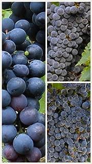 Homegrown Grape Seeds, 20 Seeds, Summer Royal Bunch Grape Vine