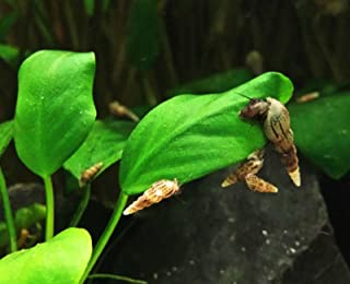 malaysian trumpet snails for sale