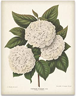 Vintage Japanese Snowball Flower Illustration - 11x14 Unframed Art Print - Great Gift and Decor for Gardeners Under $15