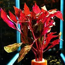 Mainam Alternanthera Reineckii VAR. Rosanervig Mini Freshwater Red Stems Live Aquarium Plant