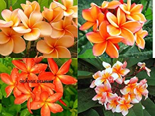 orange plumeria for sale