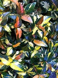 Jasmine - Asiatic Minima - Summer Sunset - 20 Starter Plants