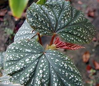 Heirloom Corallina de Lucerna Angel Wing Begonia - 2.5