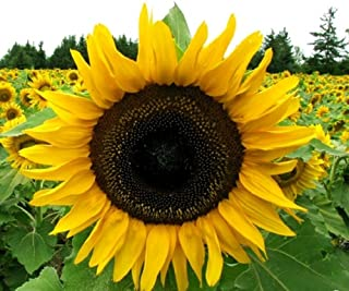 Grey Stripe Mammoth Sunflower Seeds - Flowers for Garden Planting - 100 Seeds by Hill Creek Seeds