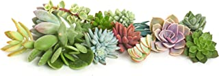 Shop Succulents | Assorted Collection of Live Succulent Cuttings, Hand Selected Variety Pack of Cut Succulents, Great for Growing New Plants - DIY Gardening | Collection of 15