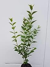 Ligustrum ovalifolium reine Pflanzh/öhe Wurzelware Liguster ovalifolium 70-100cm 25st