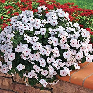 Outsidepride Cora Cascade Polka Dot Vinca Ground Cover Seed - 25 Seeds