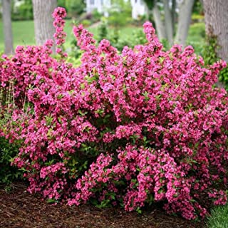 "Pink Old Fashioned Weigela Bush, Live Plant, 4"" Pot, Weigela Florida Sonic Bloom"