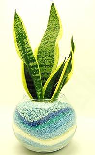 観葉 植物 サンセベリア ハイドロカルチャー ガラス植え M ブルー お手入れ簡単 室内で安心な土を使わない水耕栽培 お部屋にグリーンを置いてきれいな空気でリラックス