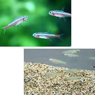 (熱帯魚)カージナルテトラ【ブリード】(約1.5-2cm) (15匹) + アフリカンランプアイ(約2cm)(10匹)[生体]