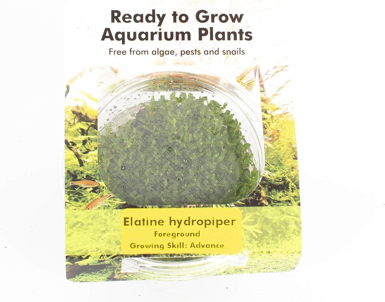 PondPlantsUK All Types in Pots Elatine hydropiper Tissue Culture in Vitro Live Aquarium Plants Carpet Tropical invitro