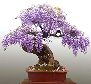 CROSO Germination Seeds ONLY NOT Plants: 20Pcs Purple Seed Wisteria Bolusanthus Speciosus Home Garden Flower Bonsai Seeds