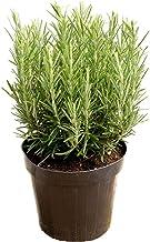 Amazon Com Rosemary Plants For Sale
