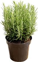 AMERICAN PLANT EXCHANGE Tuscan Blue Rosemary Live Plant, 6