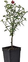 Anisodontas hypomondarum, 3-inch Pot, Dwarf Hibiscus, Starter Bonsai Tree