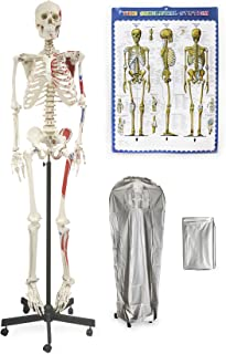 """Vision Scientific VAS200-DC Life Size Human Skeleton-66"""" (168cm) with Muscle, Including DCA-01 Thick Zip Dust Cover & Color Skeleton Diagram"""