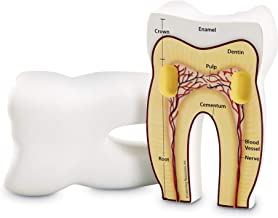 Best cross section of a tooth for kids Reviews